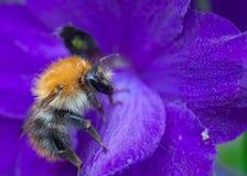 Carder Bee común Fotos de archivo libres de regalías