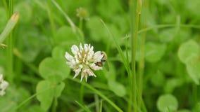 Carder Bee som samlar nektar från vit växt av släktet Trifolium arkivfilmer