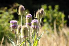 Cardi, cardo, cardo, Dipsacaceae fotografia stock