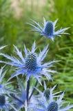 Cardi selvatici di fioritura del ramoscello Immagini Stock Libere da Diritti