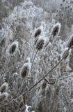 Cardi selvatici di inverno Immagine Stock Libera da Diritti