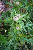 Cardi selvatici in fioritura, simbolo nazionale della Scozia immagini stock libere da diritti