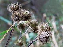 Cardi selvatici in natura Fotografie Stock