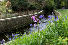CARDIFF, WALES/UK - APRIL 23 : Pink and Blue Bluebells Flowering Stock Photos