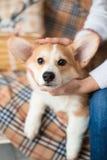 Cardigan van puppy kijkt de Welse Corgi vastbesloten in de ogen royalty-vrije stock foto