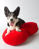 Cardigan Welsh Corgi. On a Big Red Heart Pillow Royalty Free Stock Image