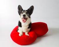 Cardigan Welsh Corgi. On a Big Red Heart Pillow Stock Image