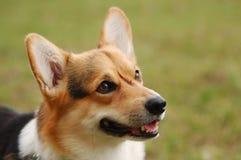 Cardigan Welsh Corgi. Portrait of beautiful dog . Cardigan Welsh Corgi Royalty Free Stock Photos