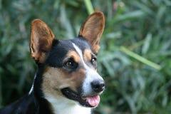 Cardigan Welsh Corgi dog. Welsh Corgi terrier sitting in yard Stock Photos