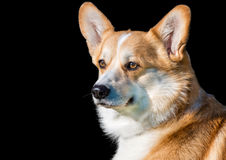 Cardigan Welsh corgi portrait on black. Royalty Free Stock Image
