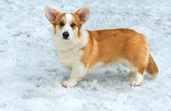Cardigan Welsh corgi. Royalty Free Stock Images