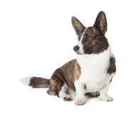 Cardigan Welsh Corgi Stock Images