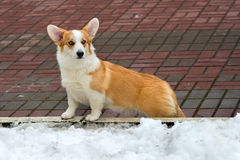 Cardigan Welsh corgi and winter. Stock Photo