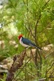 Cardinal à crête rouge Image libre de droits