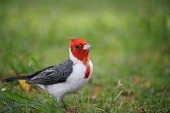 Cardinal à crête rouge images stock