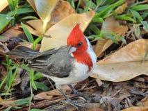 Cardinal à crête rouge au sol dans l'herbe, macro de détail avec des feuilles photo stock