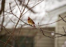 Cardinal été perché Image stock