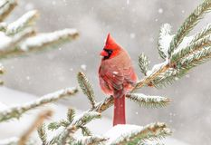 Cardinal été perché dans un pin en hiver Images libres de droits