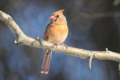 cardinal ветви Стоковые Фотографии RF