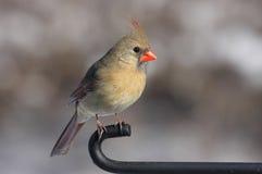 cardinal ветви Стоковая Фотография RF