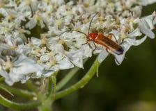 cardinal жука Стоковые Изображения