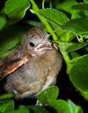 cardinal младенца Стоковые Фото