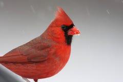 Cardinal на окуне Стоковые Изображения