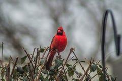 Free Cardinal-1 Stock Images - 89583864