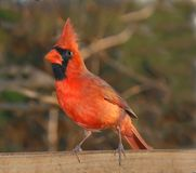 Cardinal. Beautiful male cardinal strikes a pose Stock Image