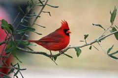 Cardinal photos libres de droits