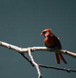 Cardinal. A cardinal perched on a birch tree branch Stock Photography