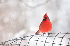 Cardinal Photographie stock