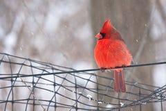 Cardinal Imagem de Stock