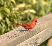 Cardinal. Perched on a wooden walkway royalty free stock images