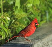 Cardinal Royalty Free Stock Photos