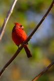 Cardinal 2 Stock Image
