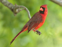 Cardinal. Male cardinal perched in a Missouri tree Royalty Free Stock Images