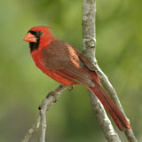 Cardinal. Male cardinal perched in Missouri tree Royalty Free Stock Photos