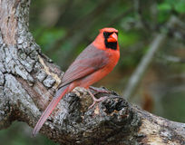 Cardinal Stock Images