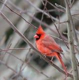 Cardinal fotos de archivo