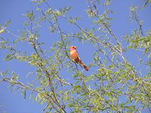 Northern Cardinal Stock Images