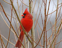 Cardinal. Red Cardinal on winter morning Stock Image
