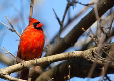 Cardinal Photos stock