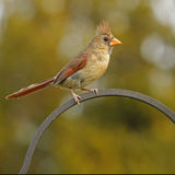Cardinal Image stock