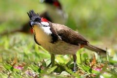 Cardinal Photographie stock