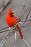 Cardinal 4b Royalty Free Stock Images