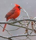 cardinal Fotografía de archivo libre de regalías