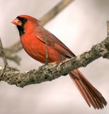 Cardinal. Male northern cardinal perched on a tree branch royalty free stock images