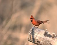 Cardinal Images stock