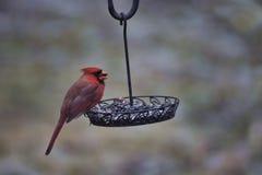 cardinal imagens de stock